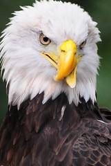 Woodard the Majestic (tammyjq41) Tags: searchthebest baldeagle raptor callawaygardens tjd impressedbeauty avianexcellence
