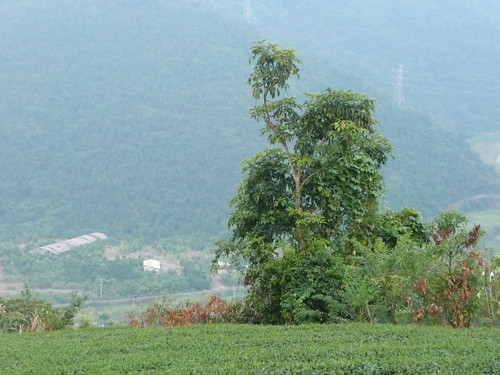 Tea Fields in Shangri La