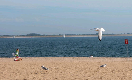 Seagull swooping down in Brighton Beach
