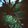 Early spring (Kerrie McSnap) Tags: flowers tree green film nature creek mediumformat landscape holga spring lomo xpro lomography crossprocessed crossprocess toycamera melbourne provia northcote merricreek fujiprovia