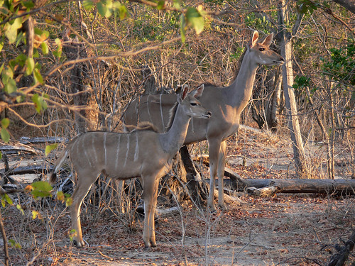 Kudu Mother and Daughter