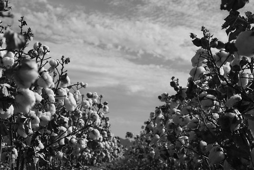 In the Cotton