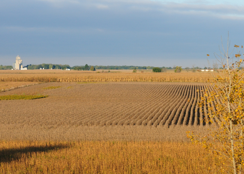 Rows of Soybeans