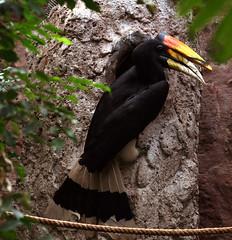 Rhinoceros Hornbill and nesting tree circa 1993