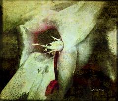 Zigocaptus truncatus ( Cacto de navidad ) (tan.solo_milenia .) Tags: friends sensational texturas visualart cubism passionphotography theperfectphotographer thesuperbmasterpiece multimegashot artofimages flickrvault trolledproud interpretaciónartistica flordecactodenavidad trabajoconphotoshop