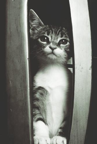 フリー写真素材, 動物, 哺乳類, ネコ科, 猫・ネコ, 子猫・小猫, モノクロ写真,