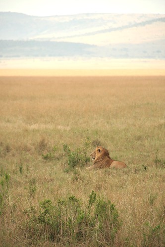 Male Lion resting - Maasai Mara, Kenya