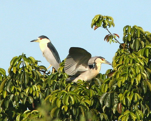 Black-crowned Night-Herons 20091023