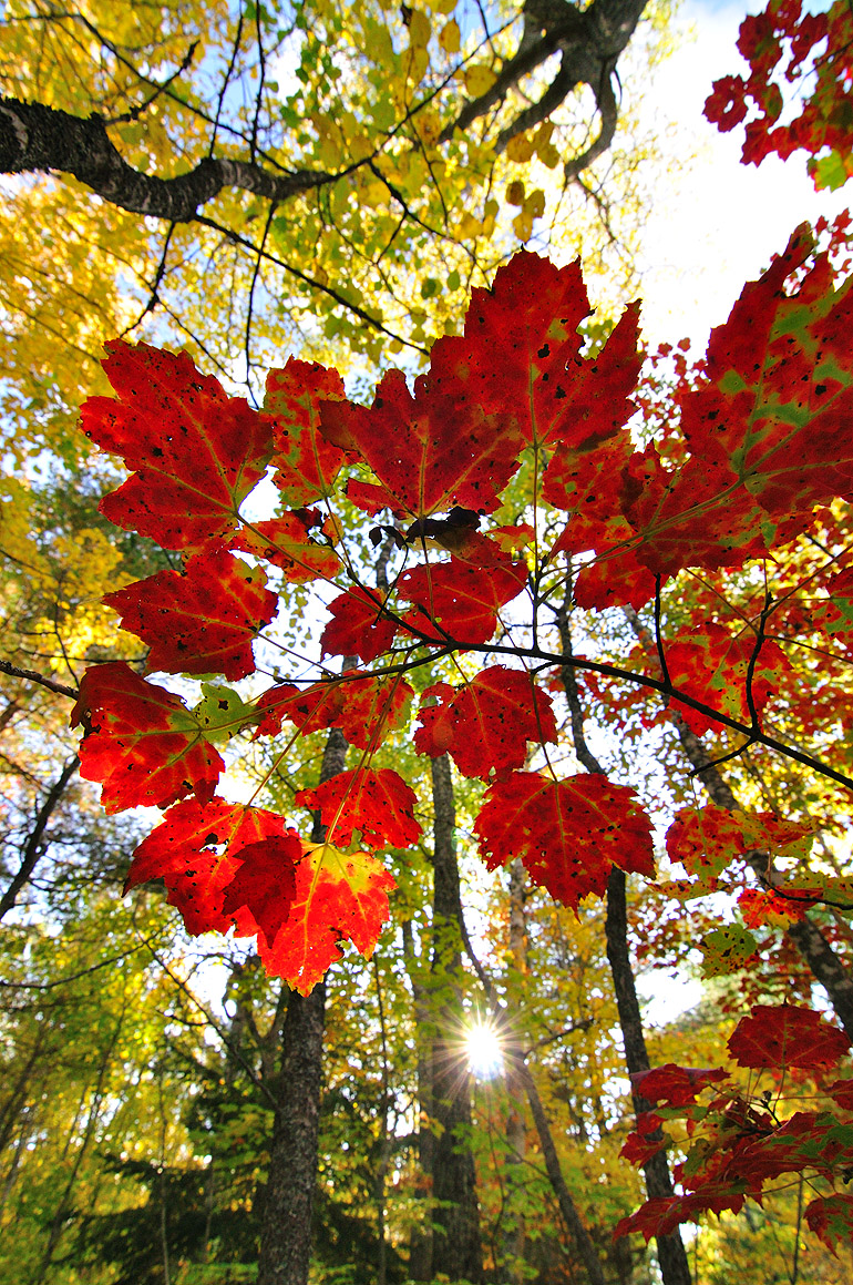red_leaves_0176