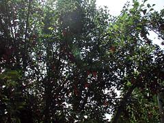 Hanuman Flowers  DSCN9875