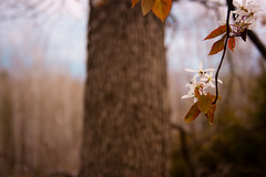 Falling stars (SolsticeSol) Tags: flowers flower tree nature beautiful horizontal landscape spring soft blossom bokeh michigan blossoms treetrunk dreamy serene elegant magical stormysky springflowers springtime softlight whiteflowers springblossoms floweringtrees bloomingtrees whiteblossoms flowersandtrees treeblossoms imagesoftrees springtrees treewithflowers natureimages delicateflowers treeblooms treebokeh springpictures dreamyimages treeimages springtimetrees springimages brancheswithflowers beautifulflowerpictures beautifulflowerimages springflowerimages whiteflowerimages bloomingspringtrees sereneimages springtimeimages beautifulspringimages dreamyspringimages softdreamylight floweringtreepictures flowerswithtreebokeh whiteflowersontrees