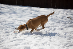 20140307-_E1A6508.jpg (Vaughan Weather) Tags: winter dog snow playing toronto ontario canada beagle puppy backyard 5months canine running biscuit browncoat domesticanimal