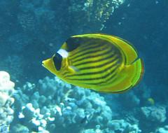 137_3715 (LarsVerket) Tags: egypt snorkling fisk undervannsfoto
