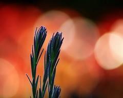 Warm-keh... (Mary Trebilco) Tags: flowers light red summer orange sun flower nature canon garden warm bokeh warmth foliage explore leucadendron proteaceae canoneos1000d