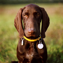 Hans (sausyn) Tags: portrait dog brown film nose eyes long bokeh medal sit marrone naso hears kurzhaar seduto orecchie lunghe