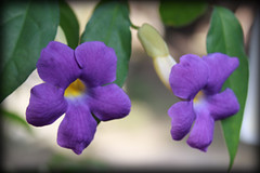 Twin Purple (juzz_arisuta) Tags: flowers flower nature