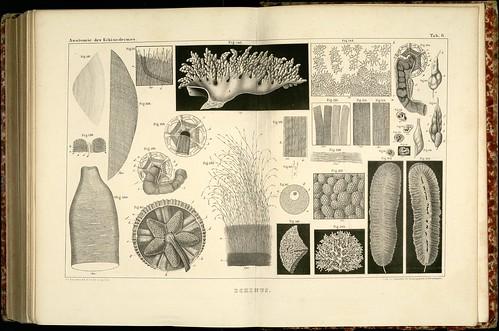 Anatomie des Echinodermes d