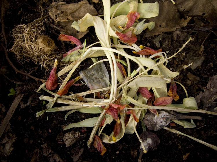 winter compost with tulips