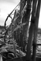 The remains (Ugo F. Turcio) Tags: field corn zwartwit nederland thenetherlands mais campo veld tilburg furball olanda biancoenero blackandwithe justpentax pentaxiani