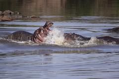 A Hippo Dispute! (Hector16) Tags: kenya mara hippopotamusamphibius