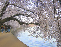 The Old Cherry Trees II (Kurlylox1) Tags: pink flowers trees people water washingtondc path sakura cherryblossoms blooms crowds yoshino bending tidalbasin anawesomeshot