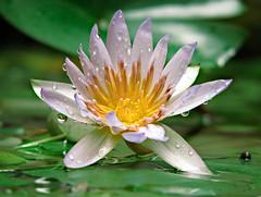 Cantos de sirena (Fran.Marchena) Tags: flowers naturaleza flores nature canon venezuela waterlilies aquaticplants nenfares lotos floresacuticas franmarchena