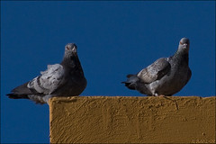 حمام زاجل (albarg-q8) Tags: sky bird olympus kuwait q8 e510 كويت ديره حمام محميه