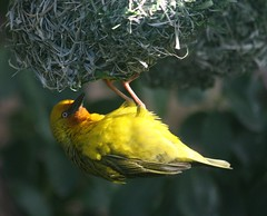 Cape-weaver (kruytflo) Tags: africa yellow canon south weaver soe malgas canonef70300mmf456isusm naturewatcher 100earthcomments bestofblinkwinners allofnatureswildlifelevel1 allofnatureswildlifelevel2 freedomtosoarlevel1birdphotosonly freedomtosoarlevel2birdphotosonly freedomtosoarlevel3birdphotosonly freedomtosoarlevel3birdsonly freedomtosoarlevel2birdsonly freedomtosoarlevel4birdsonly freedomtosoarlevel3birsdonly httpwwwinaturalistorghome