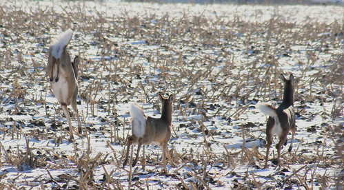 white-tailed deer 02
