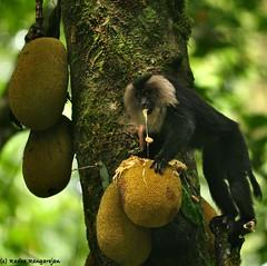 Lion Tailed Macaque (Radha Rangarajan) Tags: ltm nikon mammals macaque valparai macaca liontailedmacaque d90 greatnature macacasilenus oldworldmonkey kalyanvarma nikond90 radharangarajan