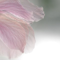 flowers (Lunemorte Dayafter) Tags: pink flower softness fairy delicate photoqueen coth fantasticflower specialpicture impressedbeauty diamondclassphotographer flickrdiamond theunforgettablepictures redmatrix coth5