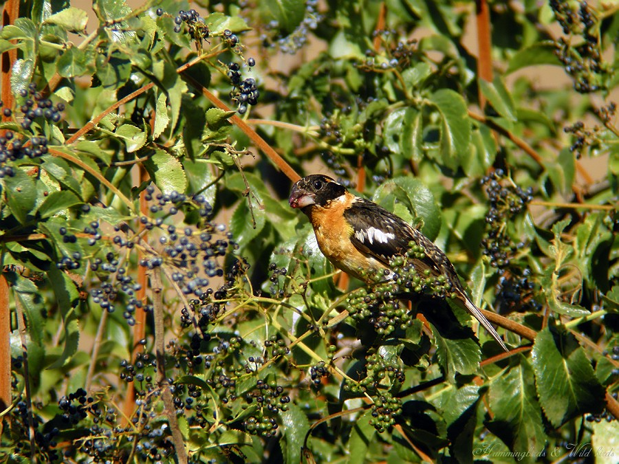 Black-headed Grosbeak07091-2