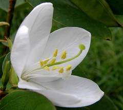 The beauty of white!! (rufaro) Tags: white flower nature bauhinia kanchan kachnar