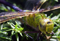 Its a bug world out there (Maurizio Photography) Tags: macro green nature closeup canon garden wings legs dragonfly head insects transparent predator thorax odonata abdomen rebelxsi mauriziophotography multifacitedeyes
