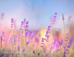 Lavender Bokeh © Glenn E Waters  (Explored).  Over 19,000 views to this photo. Thank you. (Glenn Waters ぐれんin Japan.) Tags: summer japan fun nikon sweet bokeh lavender explore japon 青森 弘前 explored ニコン nikkor85mmf14d nikkor85mm14d d700 nikond700 bokehwednesday ぐれん glennwaters