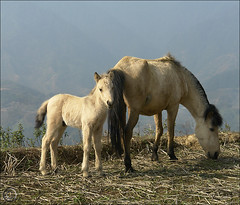 Look Mom… (NaPix -- (Time out)) Tags: horses horse mountains nature landscape asia mare vietnam explore newborn southeast maman frontpage bébé sapa hmong highaltitude topten poulain phangxipang jument fansipan explored explorefrontpage exploretopten highestmountaininsoutheastasia napix hoangliensonmountainrange phanxipăng