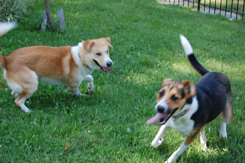 Doggie Play Date: Nibbler & Buster Chasing