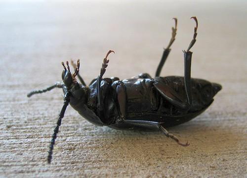 Beetle Hooks