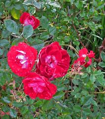 Cupcake, Roses in my backyard