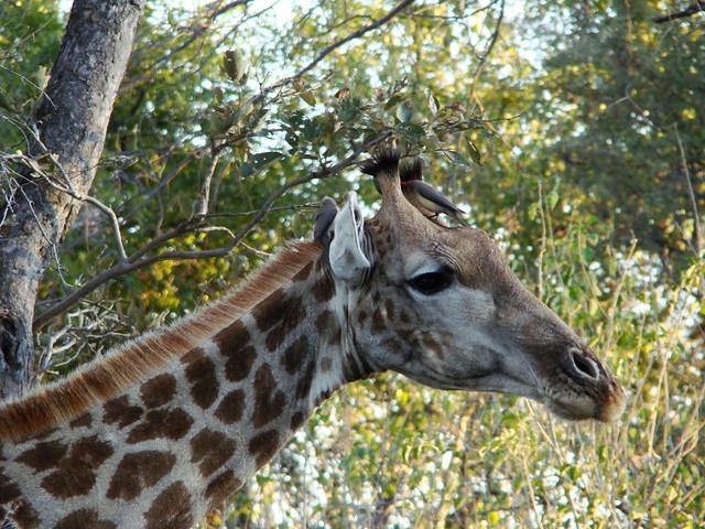DSC07509 Southern Giraffe ox-pecker bird