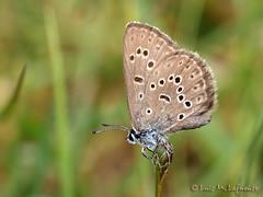 La Maculinea alcon  - la coevolución de las especies
