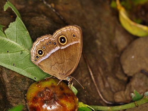 你拍攝的 小蛇目蝶。