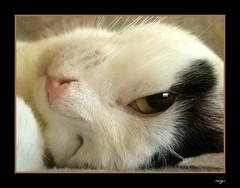 Wink!!!! (sevgi_durmaz) Tags: friends beautiful animal cat naughty sweet lovely wink kissable pamuk abigfave platinumheartaward flickrlovers memorycornerportraits