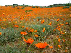 A typical spring Namaqualand scene