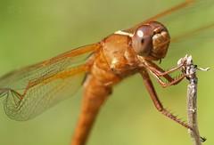 Mr. Happy face (Shutter_Hand) Tags: usa naturaleza insect dallas texas dragonfly sony 350 libelula alpha libélula dallasarboretum insecto miguelmendoza sonyalpha350 iloveminolta letnaturenurtureyou tulish minoltaaf100mmf28macrod iloveminoltaglass