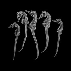 Hippocampus (Surfactant) Tags: seahorse xray hippocampus radiograph mercheval