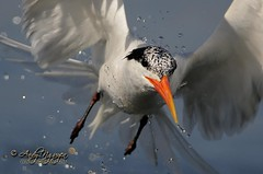 Tern in Action (Wild Wings Photography) Tags: bird nature nikon action wildlife flight 300mm tern f4 d300 avianexcellence bestofmywinners