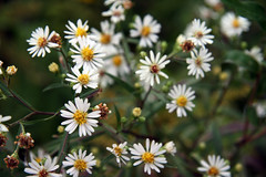 fall wild asters