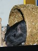 guildie9-28c (discipula277) Tags: pet gerbil 2009 guildenstern