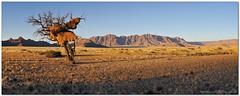 Desert Camp Sunset (Panorama Paul) Tags: sunset panorama namibia namibdesert nohdr namibnaukluftnationalpark nikfilters camelthornacacia nikond300 sociableweavernest wwwpaulbruinscoza paulbruinsphotography sossusvleidesertcamp manfrottopanoramictripodhead